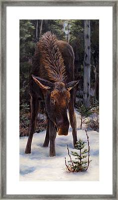 Young Moose And Pussy Willows Springtime In Alaska Wildlife Painting Framed Print by Karen Whitworth
