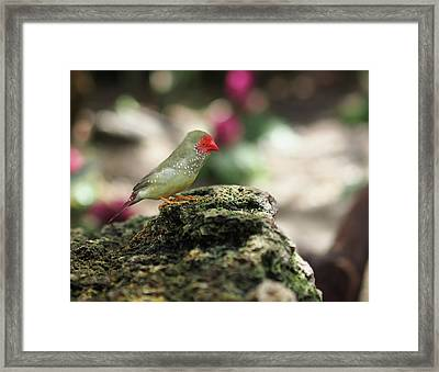 Young Star Finch Framed Print by Rona Black