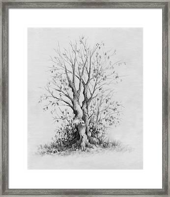 Young Tree Framed Print by Rachel Christine Nowicki