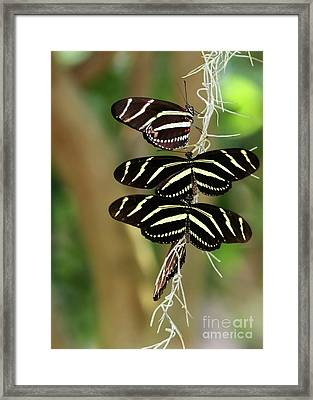 Zebra Butterflies Hanging On Framed Print by Sabrina L Ryan