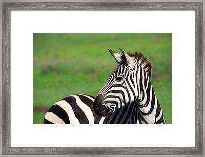 Zebra Framed Print by Sebastian Musial