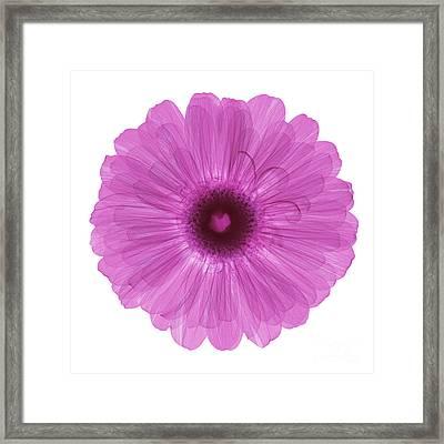 Zinnia Flower, X-ray Framed Print by Ted Kinsman