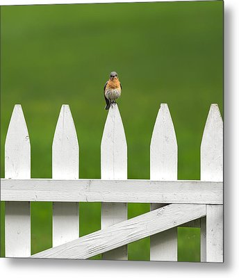 Bluebird On The Fence Square Metal Print by Bill Wakeley