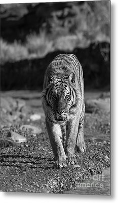 Endangered  Metal Print by Wildlife Fine Art