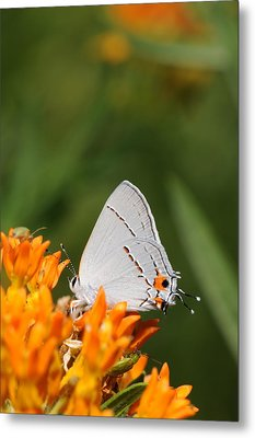 Gray Hairstreak On Butterfly Weed Metal Print by Dick Todd