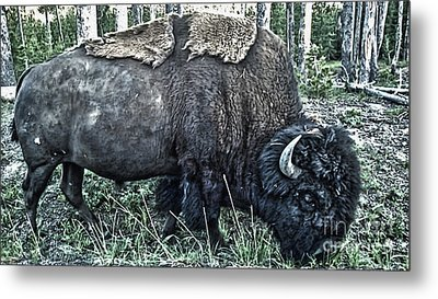 Molting Bison In Yellowstone National Park Metal Print by Gregory Dyer