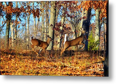 White Tail Deer Leaping  Metal Print by Peggy  Franz