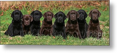 8 Labrador Retriever Puppies Brown And Black Side By Side Metal Print by Dog Photos