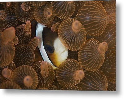A Clarks Anemonefish Nuggles Metal Print by Ethan Daniels