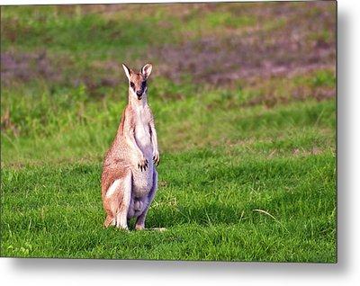 A Male Grey Kangaroos (macropus Metal Print by Miva Stock