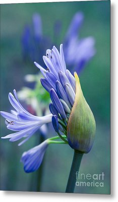 Agapanthus Orientalis - Lily Of The Nile Metal Print by Sharon Mau