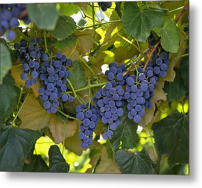 Agriculture - Concord Tablejuice Grapes Metal Print by Gary Holscher