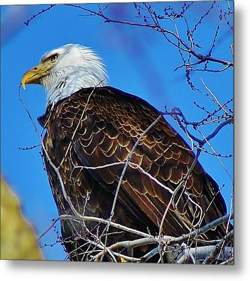 American Bald Eagle Metal Print by Bruce Bley