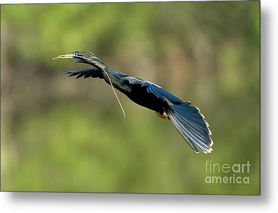 Anhinga Metal Print by Anthony Mercieca