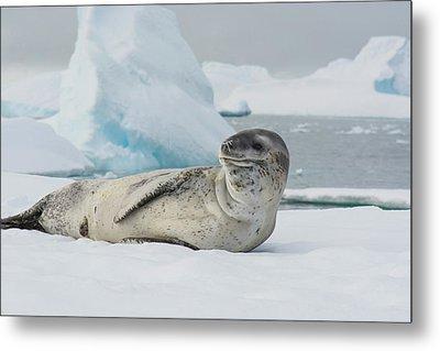Antarctica Charlotte Bay Leopard Seal Metal Print by Inger Hogstrom