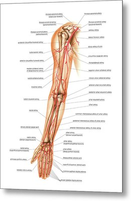 Arterial System Of The Arm Metal Print by Asklepios Medical Atlas