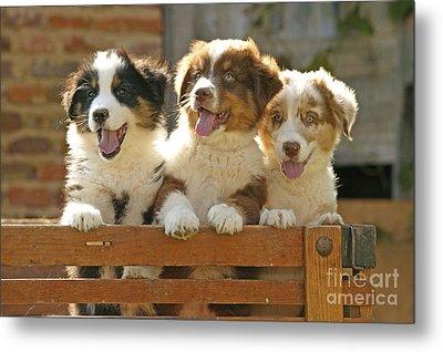 Australian Sheepdog Puppies Metal Print by Jean-Michel Labat