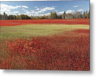 Autumn Blueberry Field Maine Metal Print by Scott Leslie