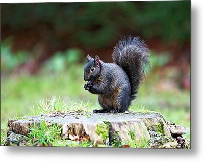 Black Squirrel Eating A Nut Metal Print by John Devries