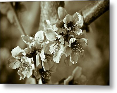 Blossoms Metal Print by Frank Tschakert