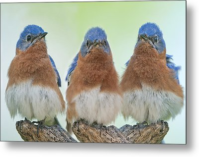 Bluebirds Of Happiness Metal Print by Bonnie Barry