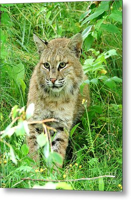Bobcat Lynk Sitting In Grass Close-up Metal Print by Sylvie Bouchard
