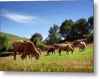 Bovine Cattle  Metal Print by Carlos Caetano