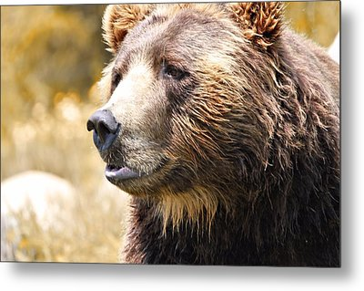 Brown Bear Portrait In Autumn Metal Print by Dan Sproul