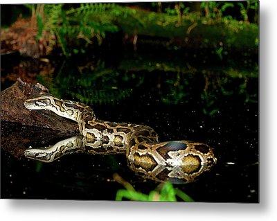 Burmese Python, Python Molurus Metal Print by David Northcott