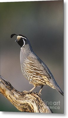 California Quail Metal Print by William H. Mullins