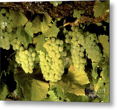 Chardonnay Wine Clusters Metal Print by Craig Lovell