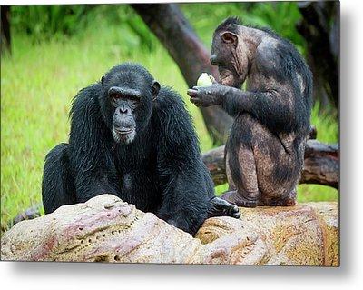 Chimpanzees Metal Print by Pan Xunbin