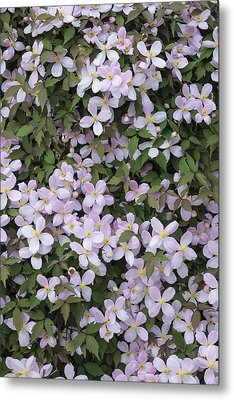 Clematis Montana 'rubens' Metal Print by Science Photo Library