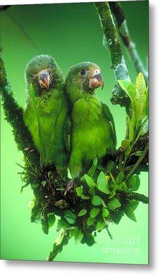 Cobalt-winged Parakeets Metal Print by Art Wolfe
