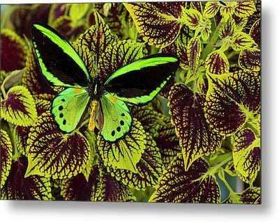Common Green Birdwing Or The Priams Metal Print by Darrell Gulin