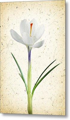 Crocus Flower Metal Print by Elena Elisseeva