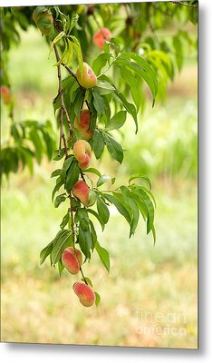 Donut Peaches Metal Print by Iris Richardson
