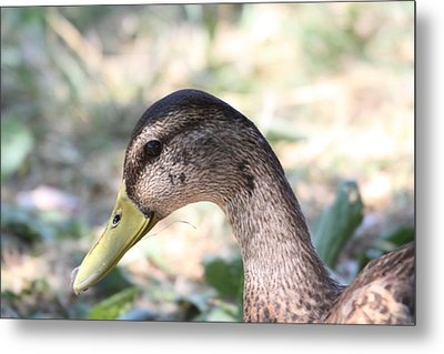 Duck - Animal - 011314 Metal Print by DC Photographer