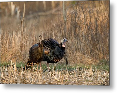 Eastern Wild Turkeys Metal Print by Linda Freshwaters Arndt