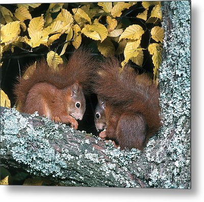 European Red Squirrels Metal Print by Hans Reinhard