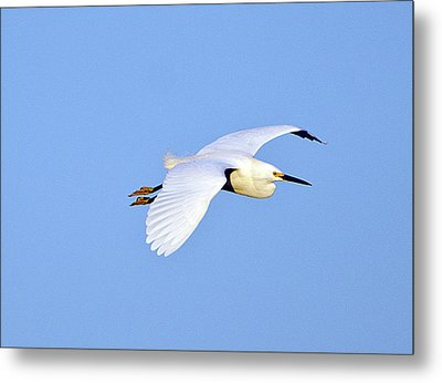 Florida, Venice, Snowy Egret Flying Metal Print by Bernard Friel