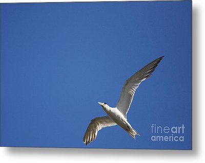 Flying Crested Tern Metal Print by Jorgo Photography - Wall Art Gallery