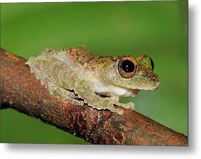 Frilled Tree Frog, Malaysia Metal Print by Fletcher & Baylis