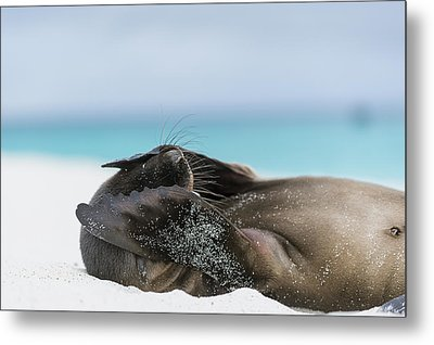 Galapagos Sea Lion Pup Covering Face Metal Print by Tui De Roy