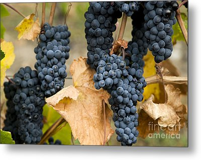 Gamay Noir Grapes Metal Print by Kevin Miller