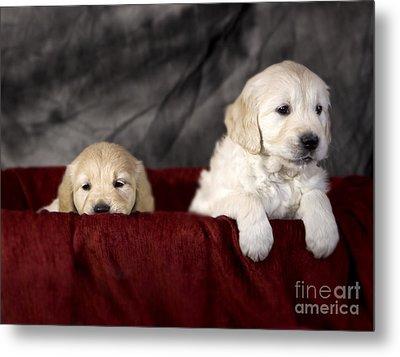Golden Retriever Puppies Metal Print by Angel  Tarantella