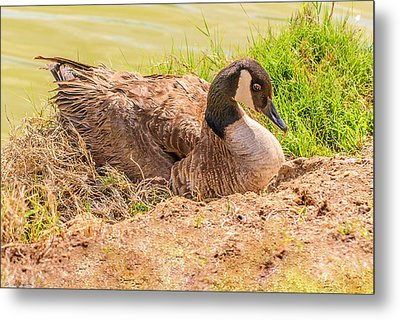 Goose Nesting Metal Print by Bob and Nadine Johnston