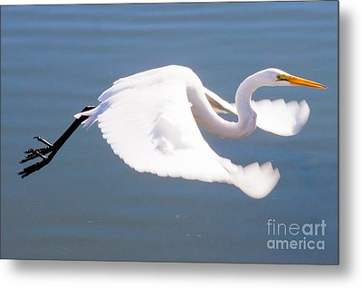Great Egret In Flight Metal Print by Thomas Marchessault