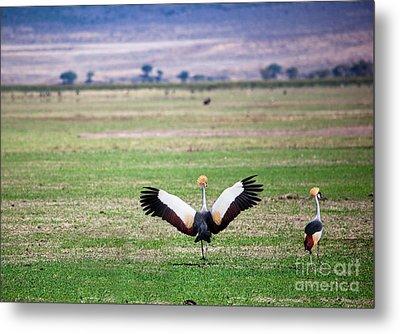 Grey Crowned Crane. The National Bird Of Uganda Metal Print by Michal Bednarek