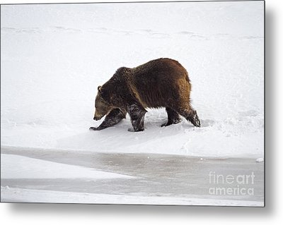 Grizzly Bear Walking In Snow Metal Print by Mike Cavaroc